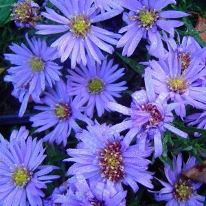 Aster dumosus 'Lady in Blue' / Madal aster 'Lady in Blue'