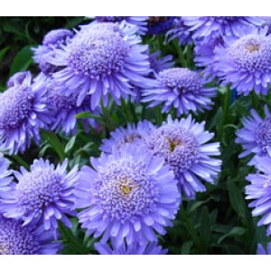 Aster x 'Double Blue'