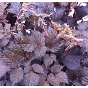 Astilbe 'Chocolate Shogun' / Astilbe 'Chocolate Shogun'