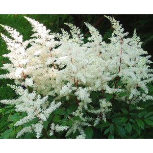 Astilbe 'Rock and Roll' / Astilbe 'Rock and Roll'