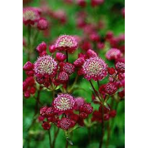 Astrantia major 'Ruby Cloud' / Suur tähtputk 'Ruby Cloud'