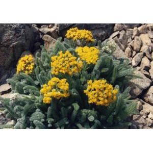 Achillea tomentosa 'Aurea' / Karvane raudrohi 'Aurea'