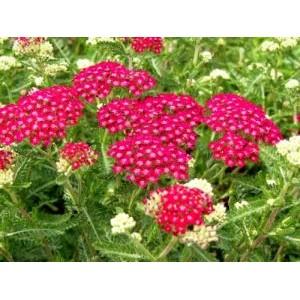 Achillea millefolium 'Cerise Queen' / Harilik raudrohi 'Cerise Queen'