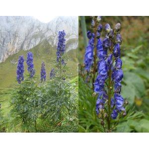 Aconitum napellus / Sinine käoking