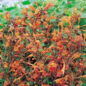 Agastache aurantiaca 'Apricot Sprite' / Oranž hiidiisop 'Apricot Sprite'