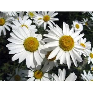 Anthemis carpatica 'Karpatenschnee' / Karpaadi karikakar 'Karpatenschnee'