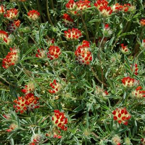 Anthyllis vulneraria var. coccinea / Veripunane koldrohi