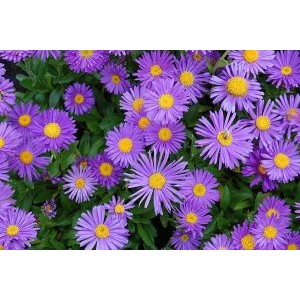 Aster alpinus 'Dark Beauty' / Alpi aster 'Dark Beauty'