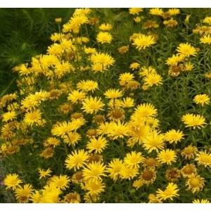 Buphthalmum salicifolium 'Alpengold' / Pajulehine härjakakar 'Alpengold'