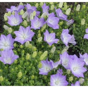 Campanula carpatica 'Light Blue Clips' / Karpaadi kellukas 'Light Blue Clips'
