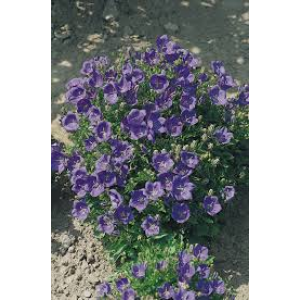 Campanula carpatica 'Dark Blue Clips' / Karpaadi kellukas 'Dark Blue Clips'