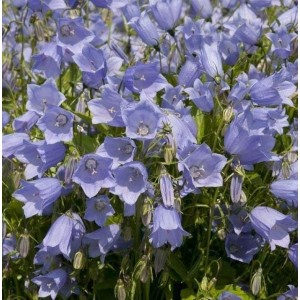 Campanula cochleariifolia 'Advance Blue' / Pisikellukas 'Advance Blue'