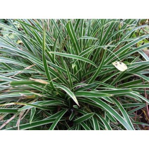 Carex morrowii 'Ice Dance' / Jaapani tarn 'Ice Dance'