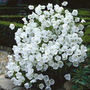 Campanula carpatica 'Pearl White' / Karpaadi kellukas 'Pearl White'
