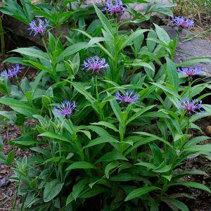 Centaurea montana / Mägijumikas