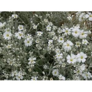 Cerastium candidissimum / Helkjas kadakkaer