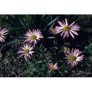 Chrysanthemum weyrichii / Siberi krüsanteem