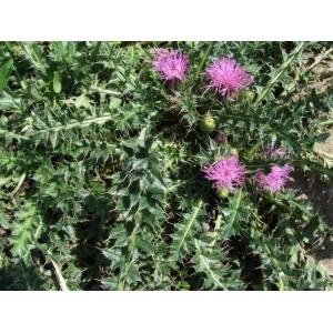 Cirsium acaule / Varretu ohakas