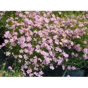Coreopsis rosea 'American Dream' / Roosa neiusilm 'American Dream'
