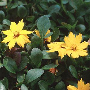 Coreopsis auriculata f nana 'Elfin Gold' / Neiusilm 'Elfin Gold'