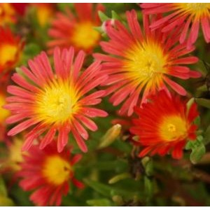 Delosperma cultivars 'Wheels of Wonder Fire' /  Maukleht 'Wheels of Wonder Fire'