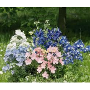 Delphinium grandiflorum 'Summer Colors' / Suureõieline kukekannus 'Summer Colors'