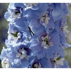 Delphinium x cultorum 'Magic Fountains Sky Blue, White Bee' /  Aed-kukekannus 'Magic Fountains Sky Blue, White Bee'