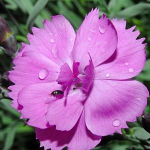 Dianthus hybridus 'Dinetta Pink' / Hübriidnelk 'Dinetta Pink'
