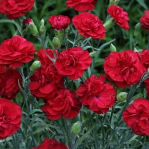 Dianthus plumarus 'David' / Sulgnelk 'David'