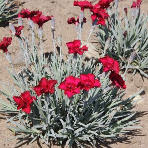 Dianthus gratianopolitanus 'Rubin' / Hall nelk 'Rubin'