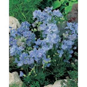 Delphinium grandiflorum 'Summer Blues' / Suureõiene kukekannus 'Summer Blues'
