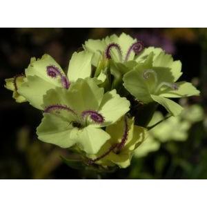 Dianthus knappii 'Yellow Harmony' / Knappi nelk 'Yellow Harmony'