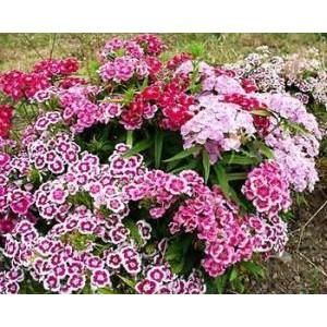Dianthus barbatus 'Indianerteppich' / Habenelk 'Indianerteppich'