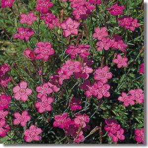 Dianthus deltoides 'Confetti Tiefrosa' / Nurmenelk 'Confetti Tiefrosa'