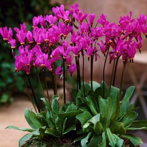 Dodecatheon meadia 'Red Wing' / Harilik jumalatelill 'Red Wing'