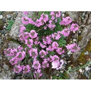 Erinus alpinus 'Doktor Hähnle' / Alpi eriinus 'Doktor Hähnle'