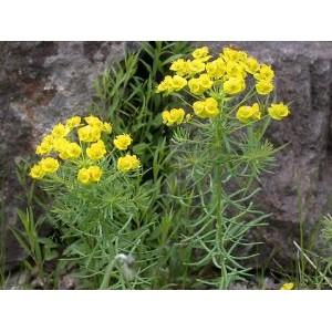 Euphorbia cyparissias / Küpress-piimalill