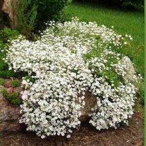 Gypsophila paniculata fl.pl.  'Snow Flake' / Pööris-kipslill 'Snow Flake'