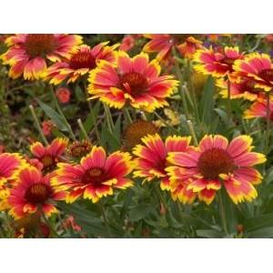 Gaillardia aristata 'Arizona Sun' / Ohtene mõrsjalill 'Arizona Sun'