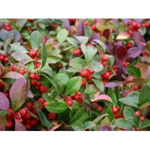 Gaultheria procumbens 'Very Berry' / Lamav talihali 'Very Berry'