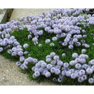 Globularia cordifolia / Südajas keraslill
