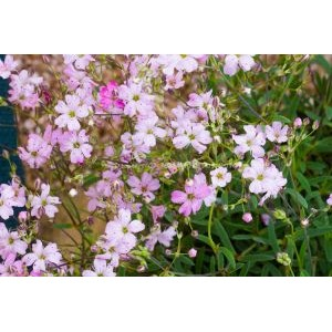 Gypsophila repens 'Filou Rosa' / Roomav kipslill 'Filou Rosa'