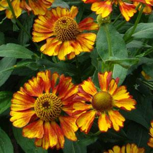 Helenium 'Can Can' / Heleenium ehk säralill 'Can Can'