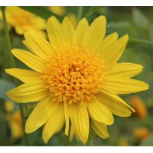 Helianthus 'Happy Days' / Päevalill 'Happy Days'