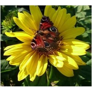 Helianthus 'Sunshine Daydream' / Päevalill 'Sunshine Daydream'