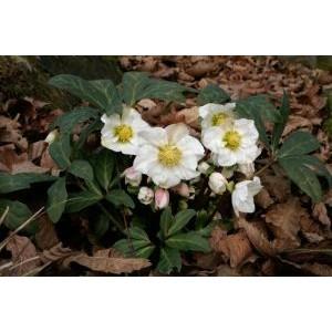 Helleborus niger / Must lumeroos