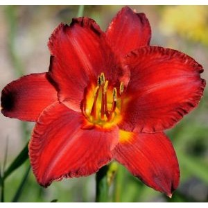 Hemerocallis 'Chicago Apache' / Päevaliilia 'Chicago Apache' *