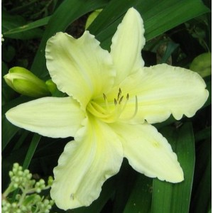 Hemerocallis 'Moment of Truth' / Päevaliilia 'Moment of Truth'