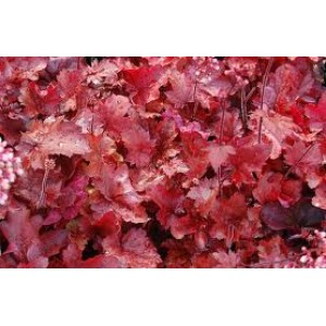 Heuchera 'Fire Chief' / Helmikpööris 'Fire Chief'