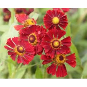 Helenium 'Ruby Tuesday' / Heleenium ehk säralill 'Ruby Tuesday'